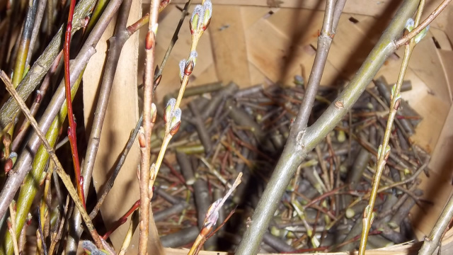 willow shoots make a nice, natural rooting hormone & fungal deterrent for plant cuttings and seedlings
